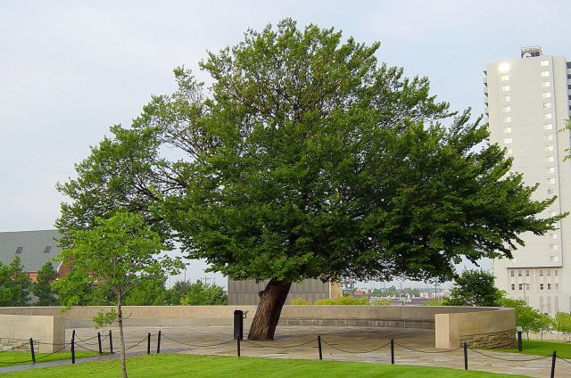 The_Survivor_Tree_at_the_Oklahoma_City_National_Memorial