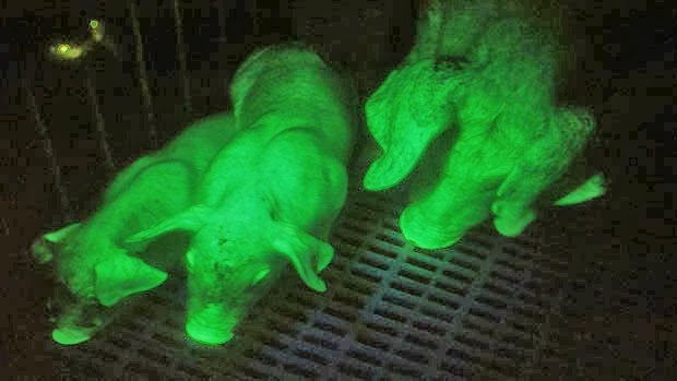 3 glowing pigs